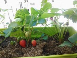 Des fraises sur le balcon !